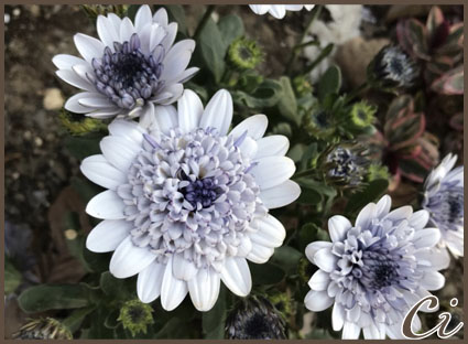 紫花のコピー